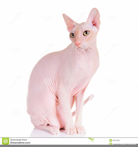Sphynx Cat Clipart.