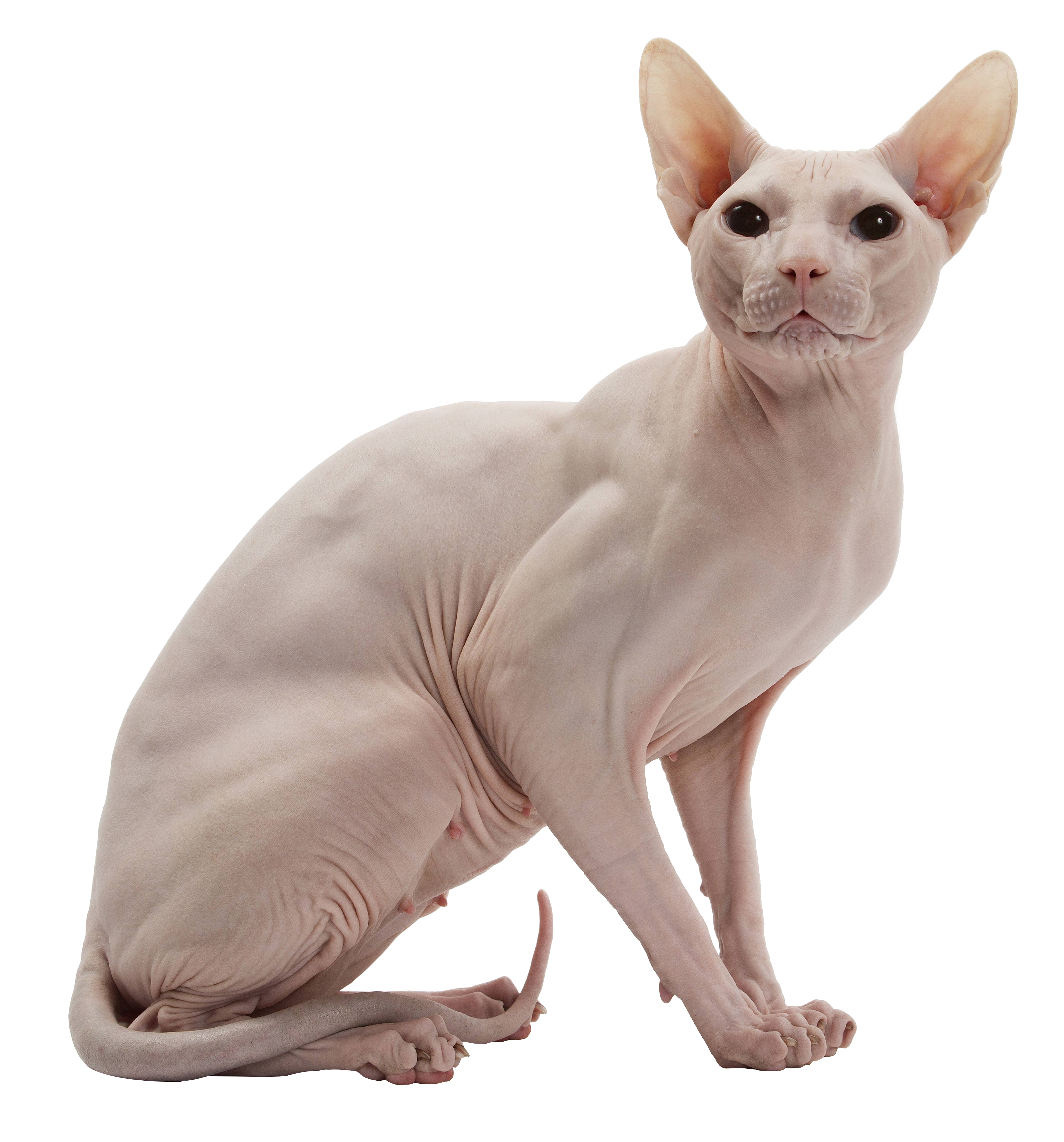 Pictures of sphynx cats clipart images gallery for free.