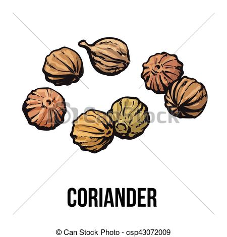 Vector Clipart of Coriander seeds, sketch style vector.