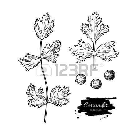 463 Coriander Seeds Stock Illustrations, Cliparts And Royalty Free.