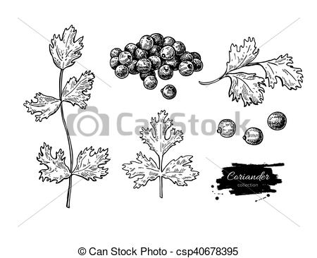 EPS Vectors of Coriander vector hand drawn illustration set.