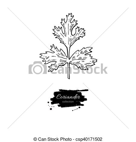 Vector Clipart of Coriander plant vector hand drawn illustration.