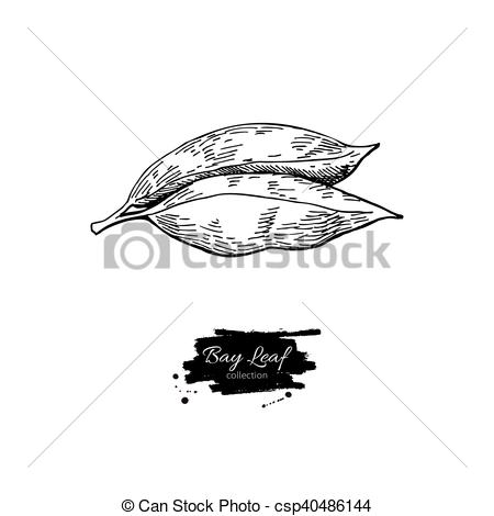 EPS Vector of Bay leaf vector hand drawn illustration. Isolated.