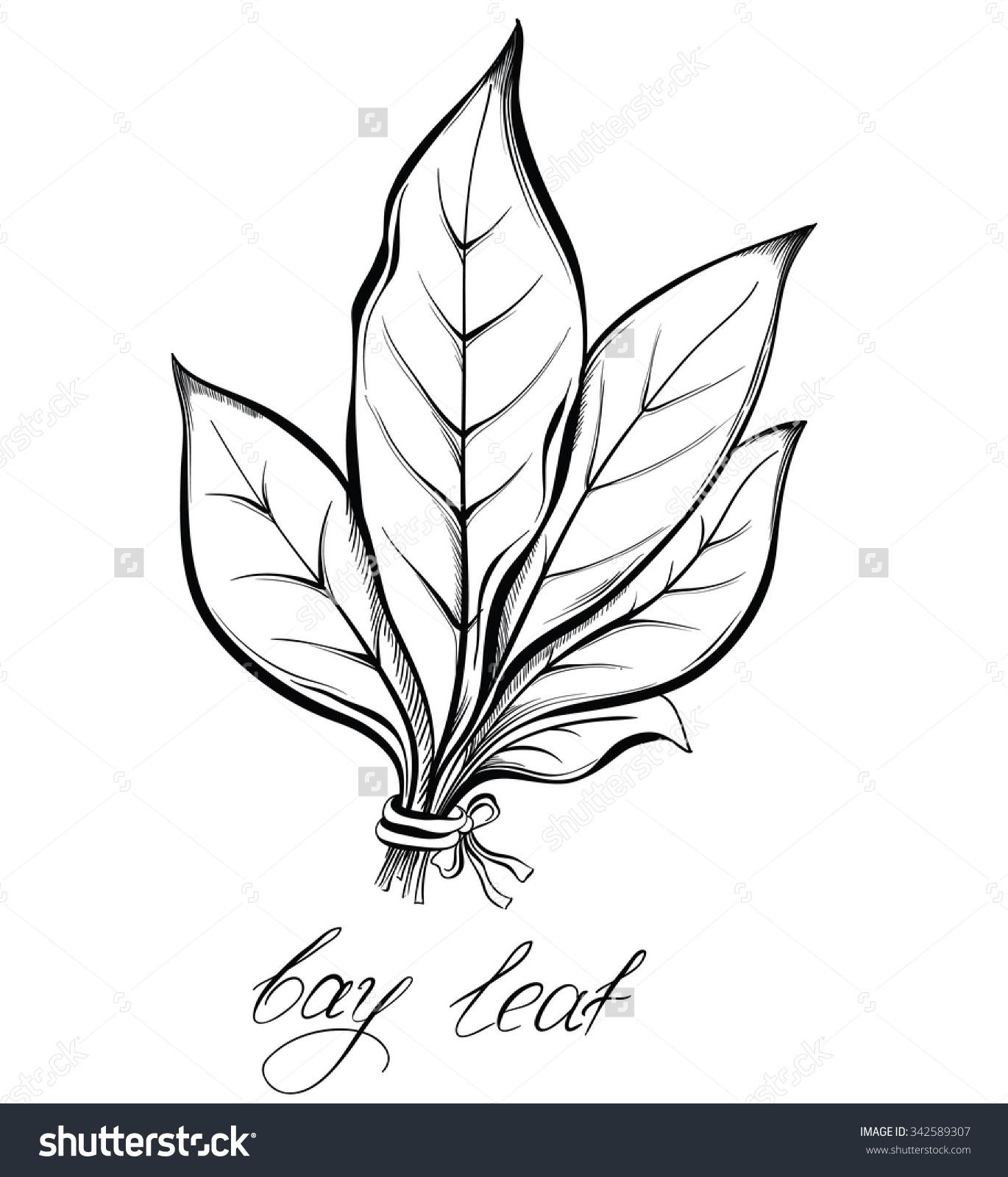 Kitchen Herbs Spices Bay Laurel Leaf Stock Vector 342589307.