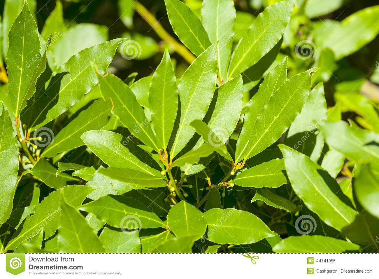 Laurel Tree Leaves, Aromatic Spice. Stock Photo.