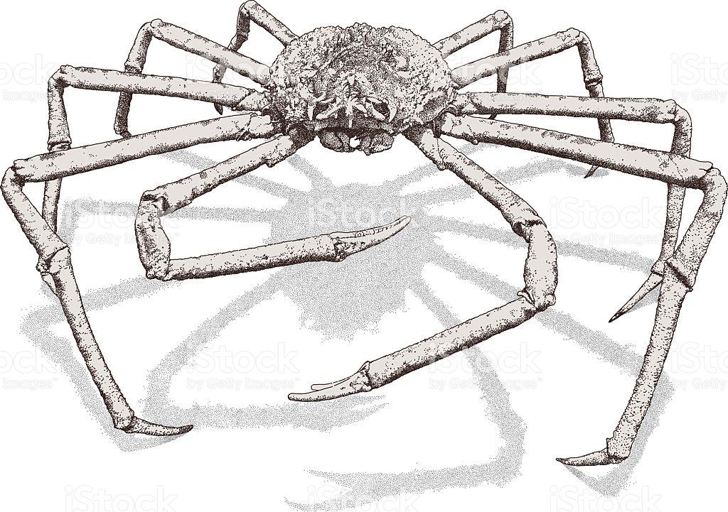 Giant Spider Crab stock vector art 522716895.