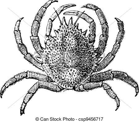 Vectors Illustration of European Spider Crab or Maja squinado.