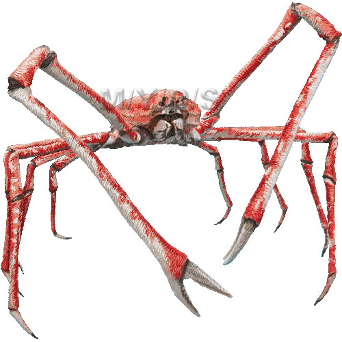Japanese Spider Crab clipart graphics (Free clip art.