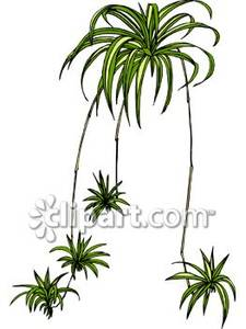 Spider Fern Plant Royalty Free Clipart Picture.