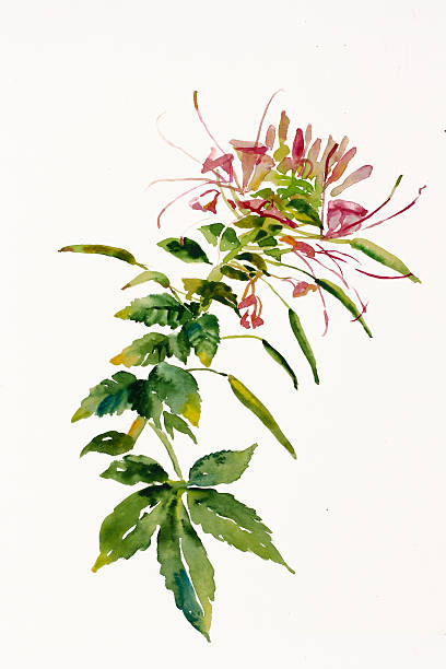 Spider Flower Clip Art, Vector Images & Illustrations.