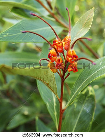 Stock Photo of Australiana native plant Grevillea venusta with.