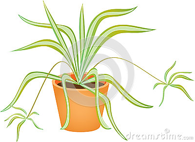 Spider Plant Stock Vector.