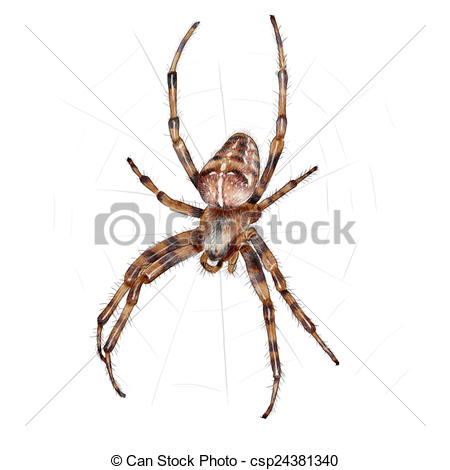 Drawing of European garden spider.