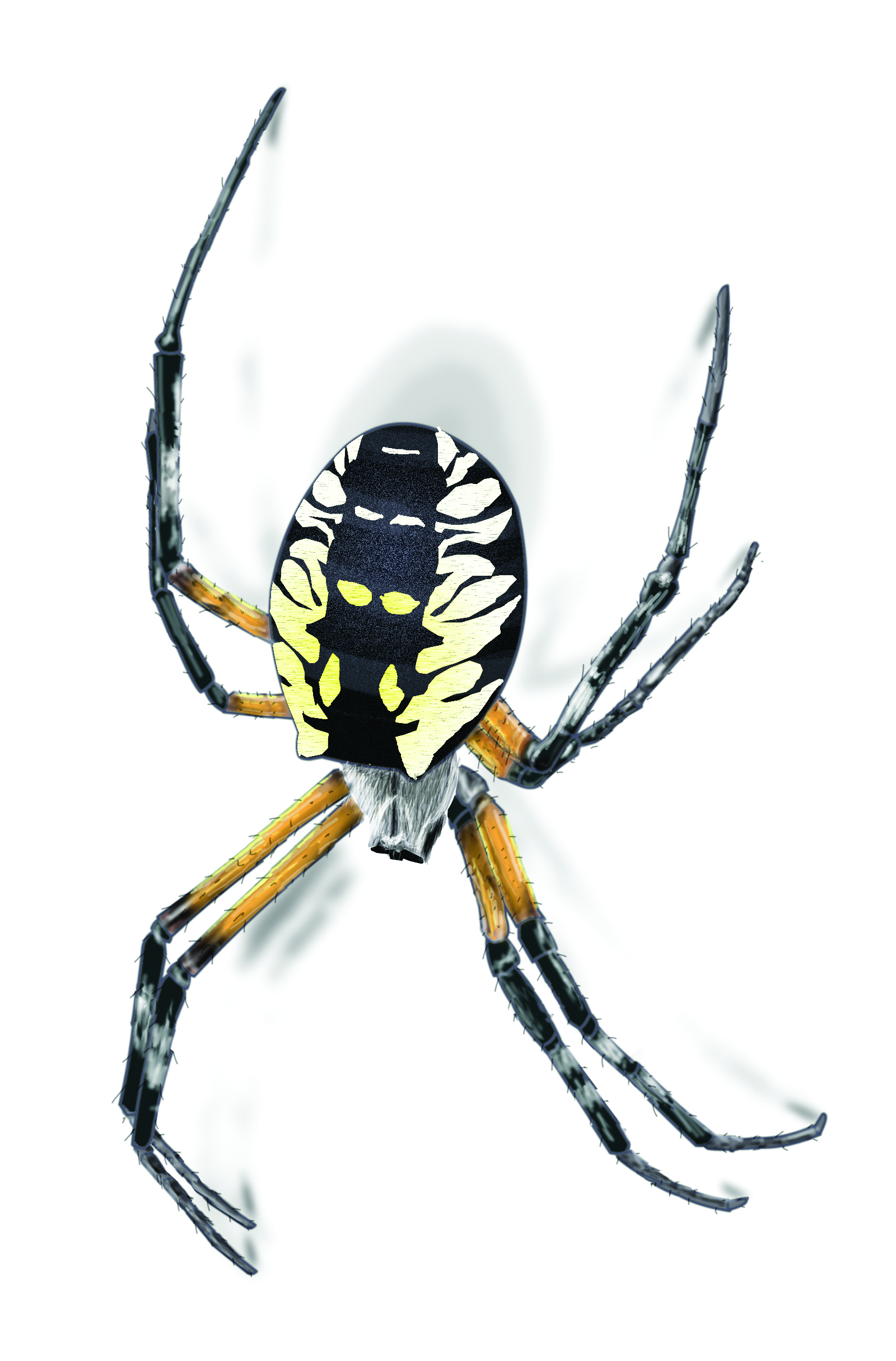 Spider Illustration.