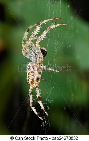 Stock Photos of spider in natural habitat sitting on its net.
