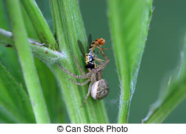 Stock Photography of Xysticus. Female Ground Crab Spider in.