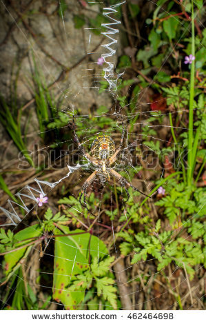 Female Argiope Aurantia Stock Photos, Royalty.