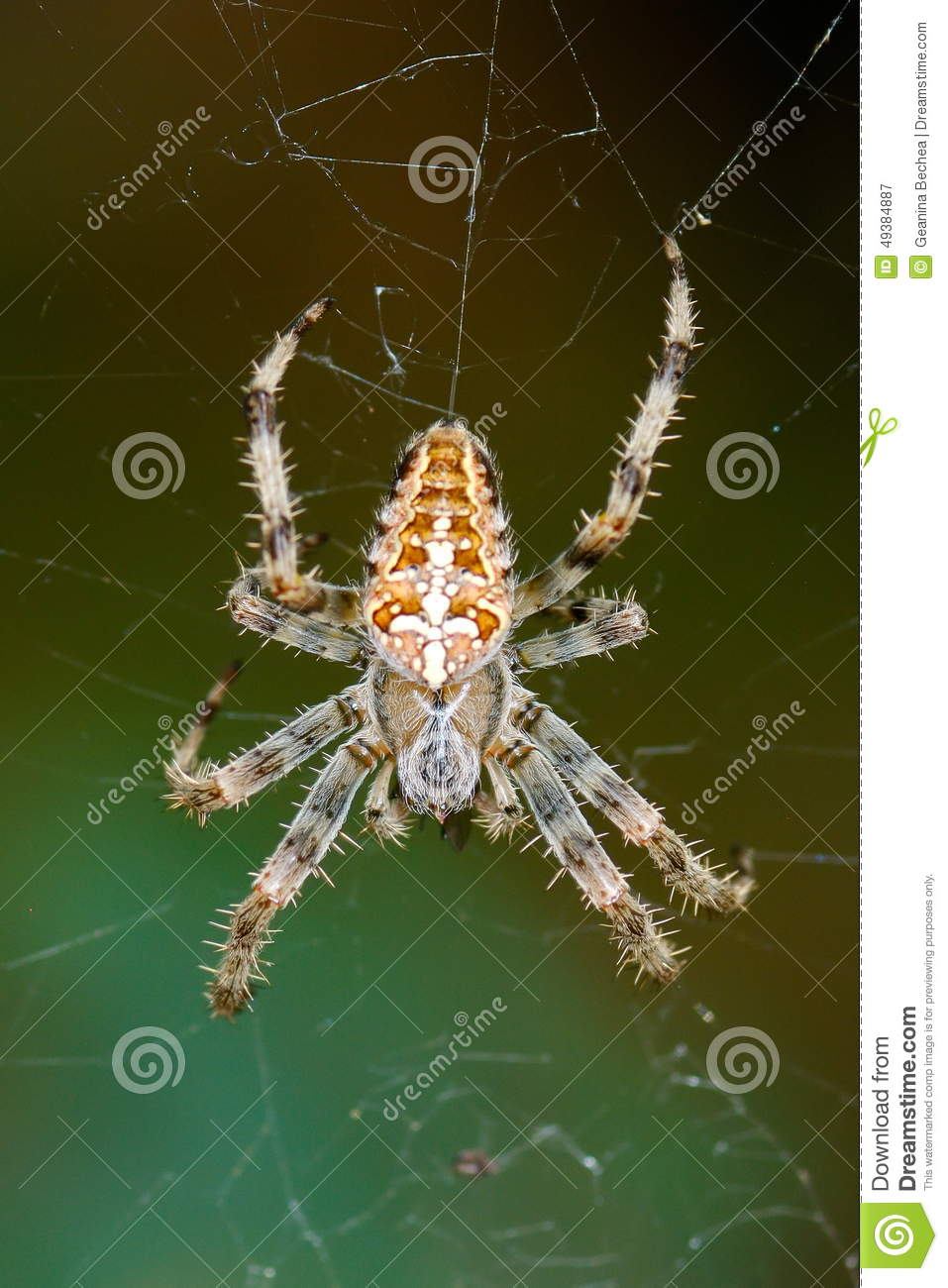 Spider In Natural Habitat Stock Photo.