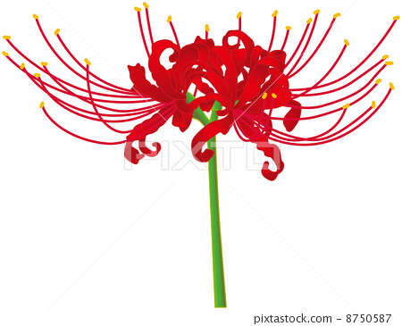 red spider lily, flower, blossoms.