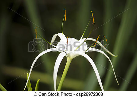 Stock Photography of White lily like flower, Spider lily.