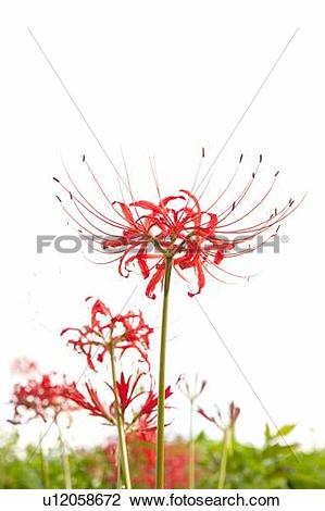 Stock Photo of Red Spider Lily u12058672.