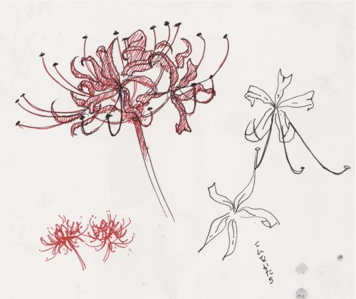 I tried drawing a spider lily (in japanese, higanbana 彼岸花.