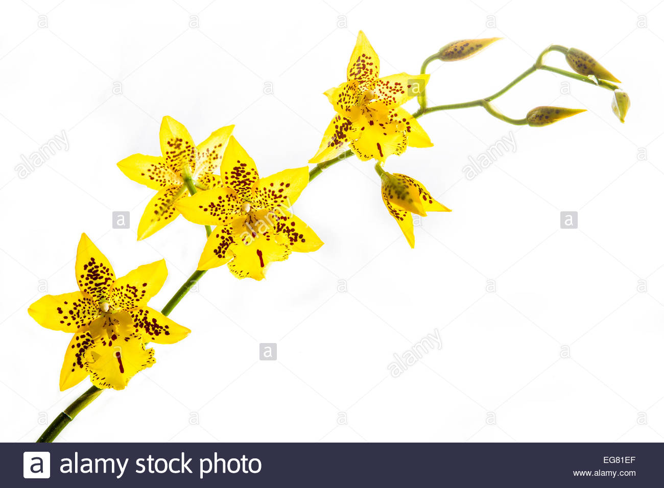 Cambria Spider Orchid. Pot Plant Stock Photo, Royalty Free Image.