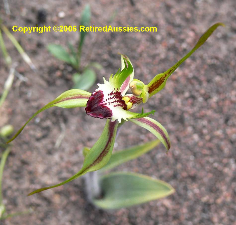 Spider Orchid.