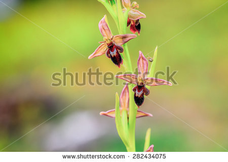 Pink Spider Orchids Stock Photos, Royalty.