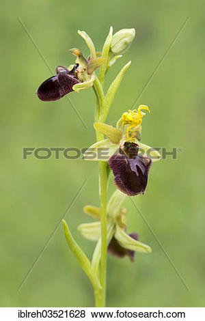 "Pictures of ""Early Spider Orchid (Ophrys sphegodes) and a."