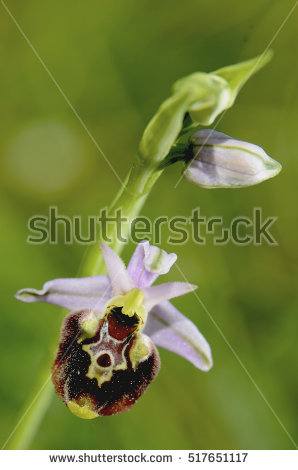 Spider Orchid Stock Photos, Royalty.
