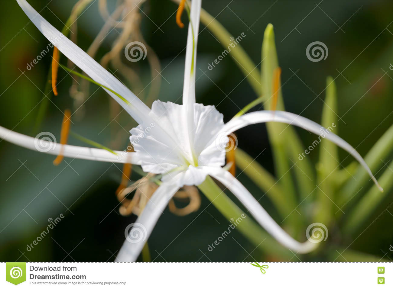 White Spider Orchid Stock Photo.