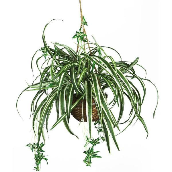Spider plant clipart #18