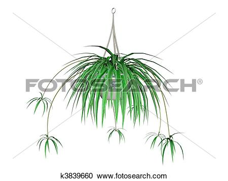 Spider plant clipart #17