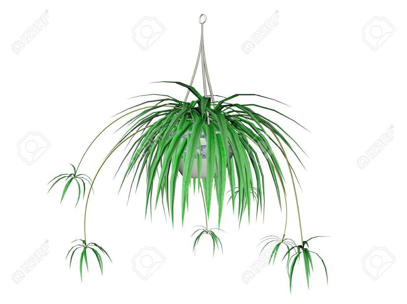 Illustration Of A Spider Plant, A Hanging Plant Stock Photo.