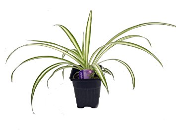Spider plant clipart #14