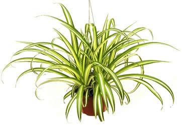 Chlorophytum comosum (Spider plant).