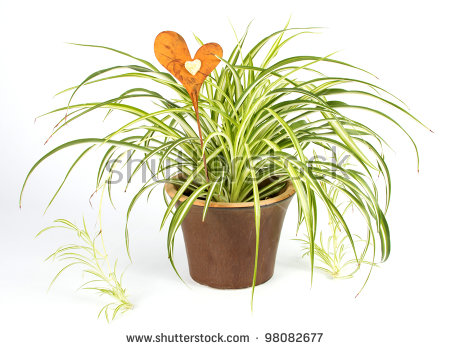 Spider Plant Stock Photos, Royalty.