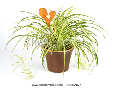 Spider plant clipart #3