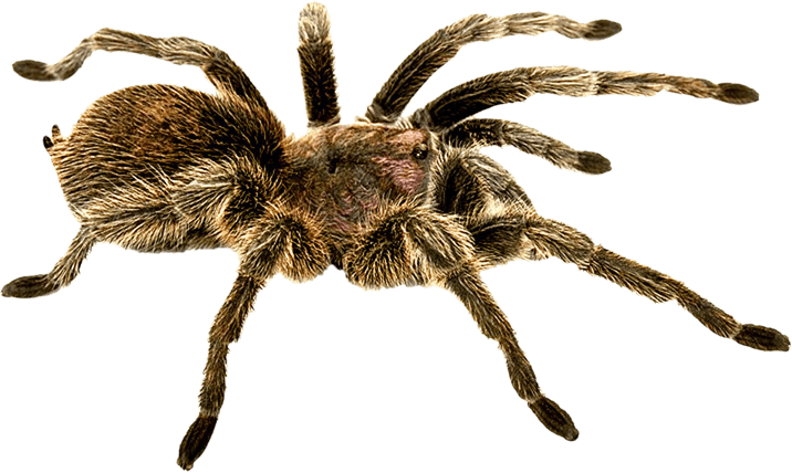 Download Spider Png Image HQ PNG Image.