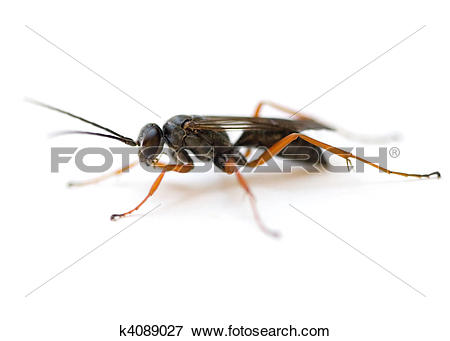 Picture of Spider Wasp k4089027.