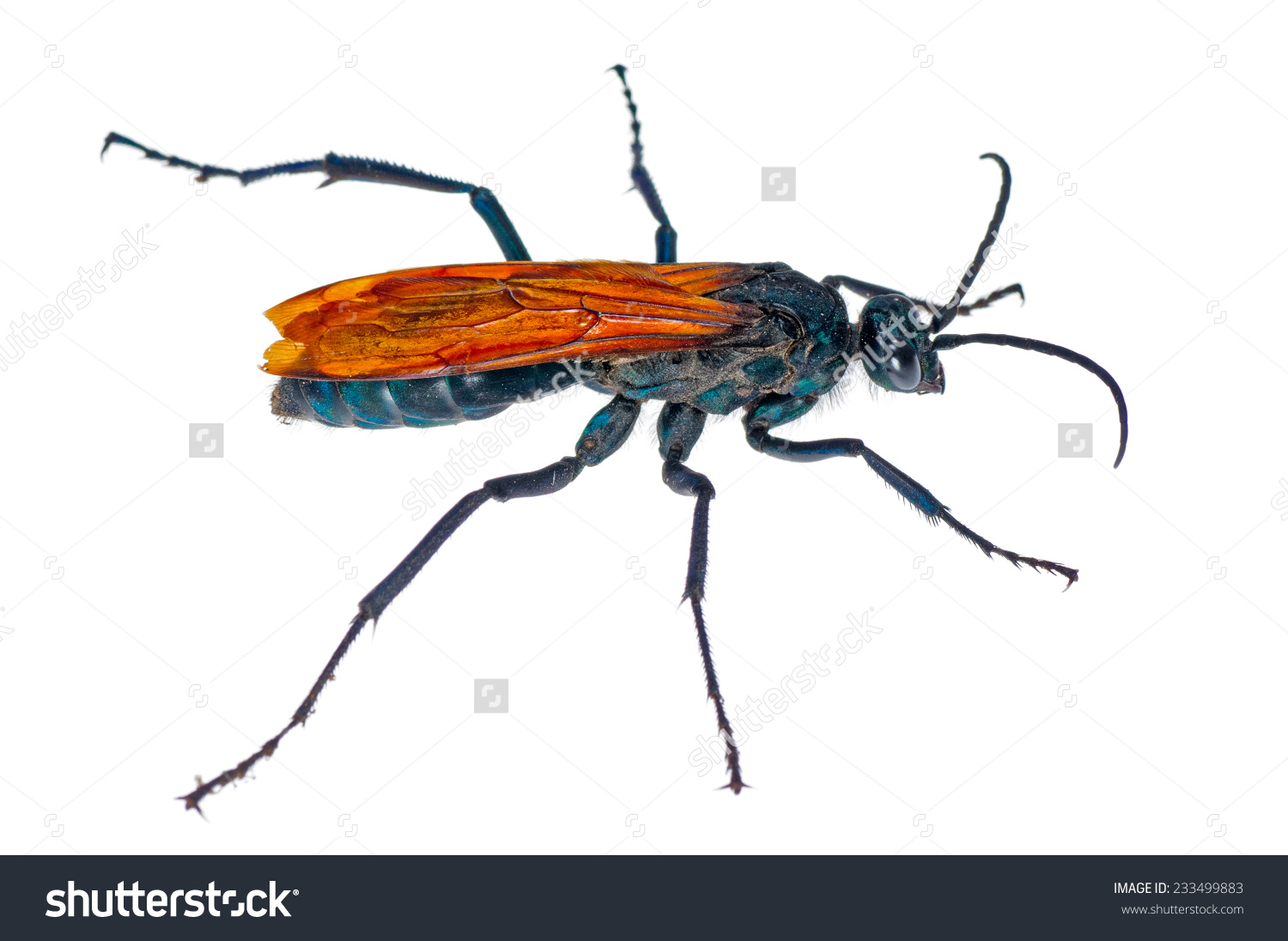 Tarantula Hawk Spider Wasp Pepsis Caridei Stock Photo 233499883.