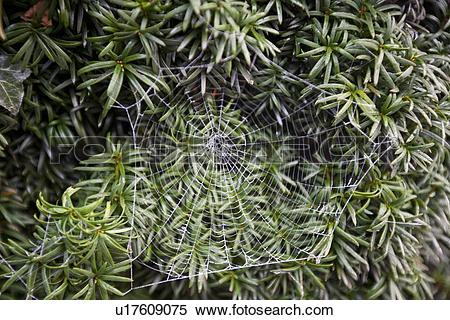 Stock Image of Frosty spider web in front of green leaves.