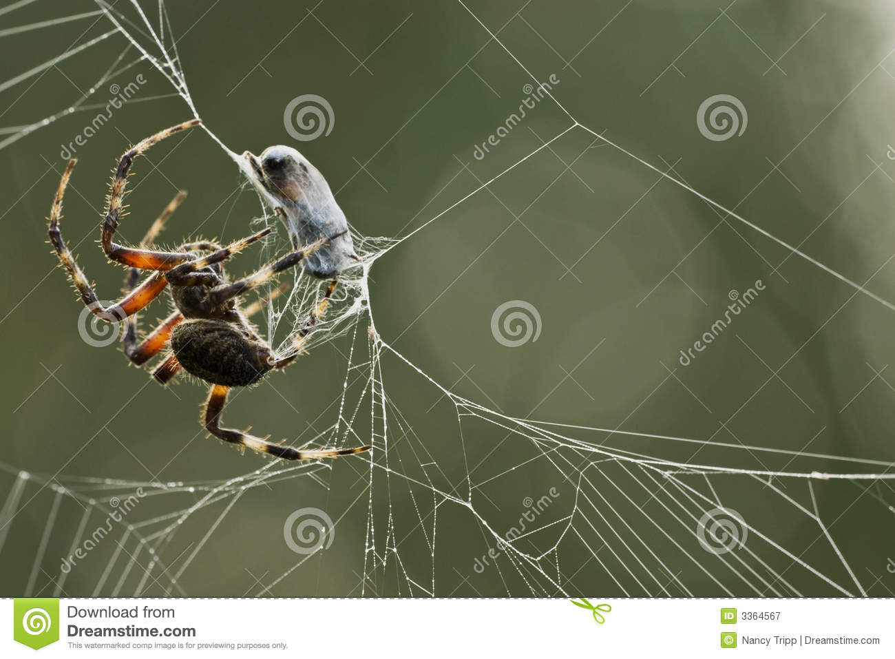 Spider Wrapping Prey In A Cocoon Royalty Free Stock Image.