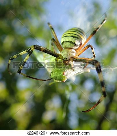 Picture of Wasp spider and prey k22467267.