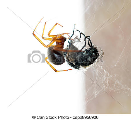 Stock Photography of Spider killing it's prey.