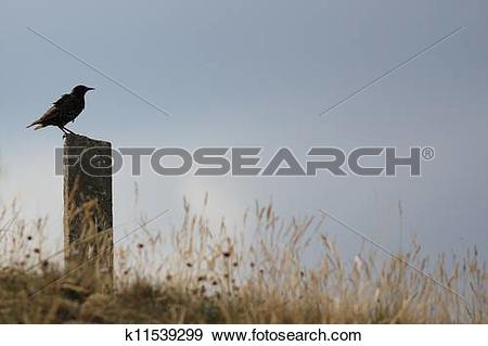 Stock Photograph of Starling sitting in the wind on a stone pole.