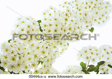 Stock Images of Spierstrauch Spiraea 00444cs.