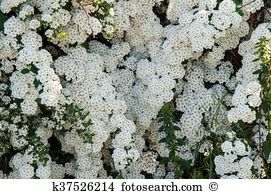 Spiraea Stock Photos and Images. 420 spiraea pictures and royalty.