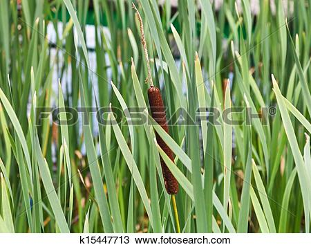 Stock Photo of Typha leaves and spike on stem k15447713.